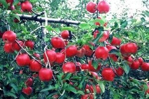 ワンデープラン・りんご園