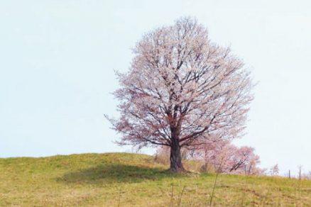 ふれあい牧場の桜