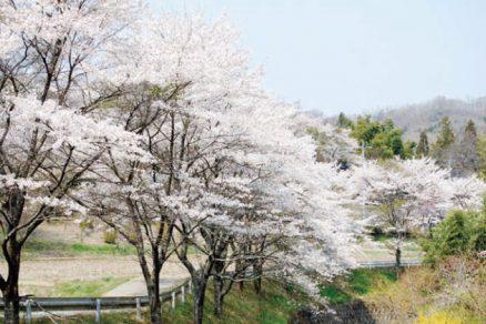 相川桜並木