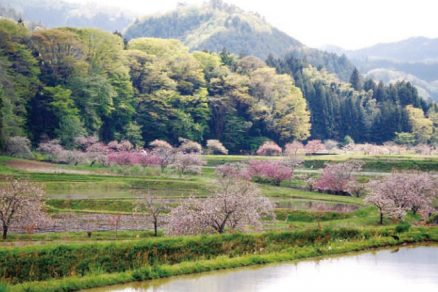 相川のぼたん桜