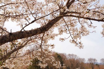奥久慈憩い森の桜