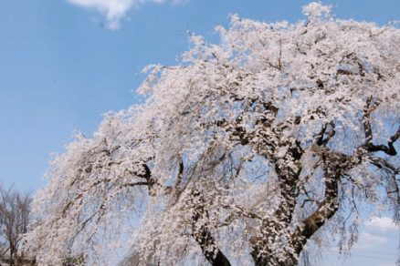 上岡のしだれ桜