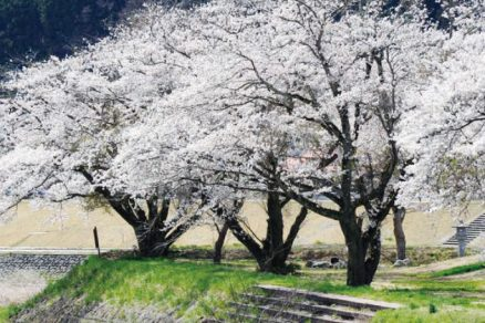 湯の里公園の桜