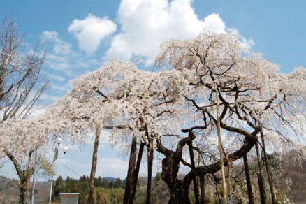小生瀬地蔵桜