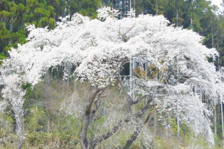 相川のしだれ桜
