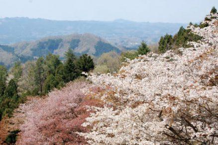 沓掛峠の山桜群