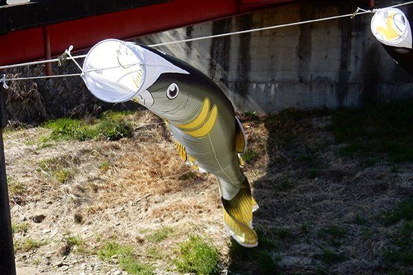 滝川のかわいい鯉のぼり